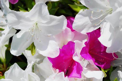 White and pink azalea up