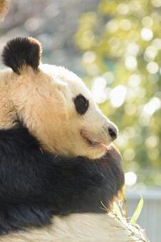 Giant panda with profile 6
