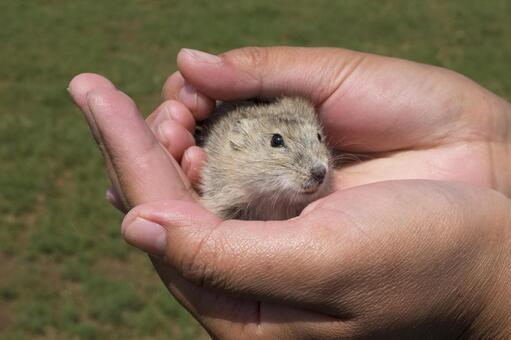 Catch Mongolian mice