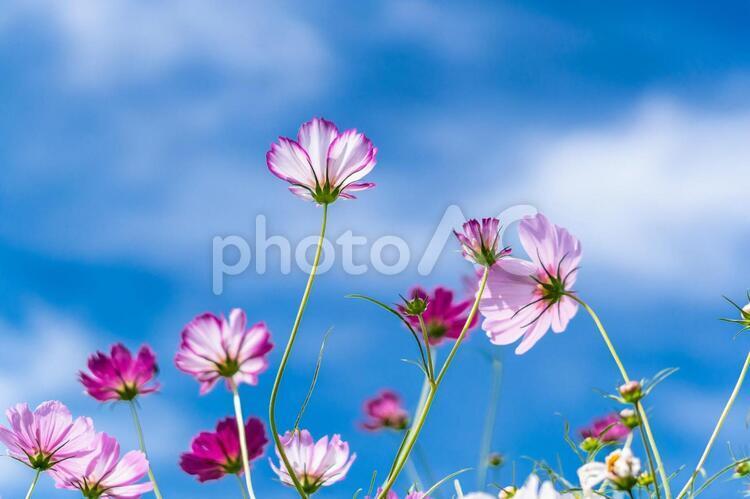 コスモスの花(コスモス31)の写真
