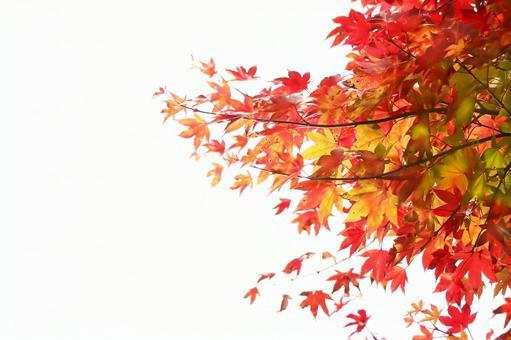 Autumn maple white background