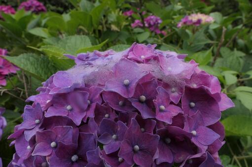 晨露的紅紫色繡球花