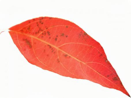 Autumn leaves Kiritorori leaves