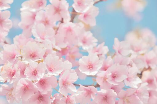 Cute pink cherry blossom background