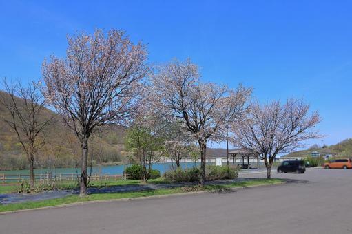 아사리 댐 호반에 피는 벚꽃길