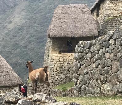 アルパカとマチュピチュ遺跡、ペルー。