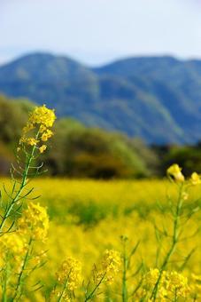 유채 꽃밭과 산맥