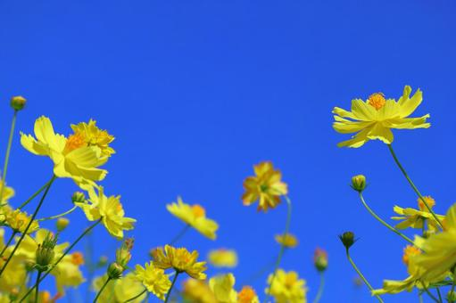 Yellow cosmos that shines in the blue sky Autumn cherry blossoms and the sky