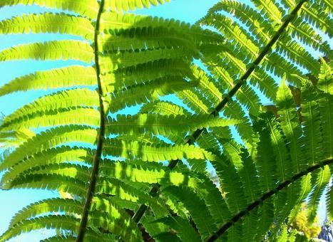코고미 잎 뒷면에서