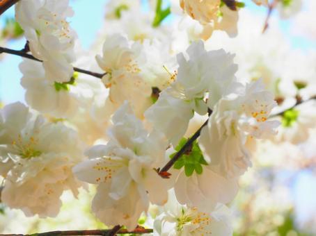 Flower flower peach (Hanamomo)