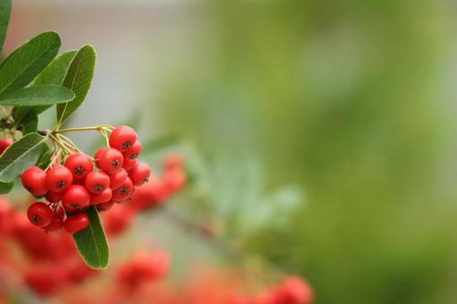 Pyracantha firethorn winter New Year's card event