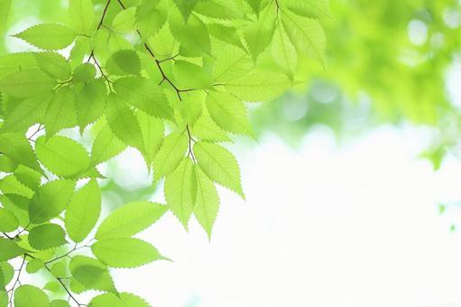 新鮮綠葉若葉櫸樹