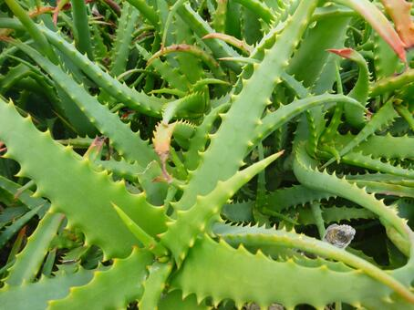 알로에 ☆ 식물 ☆ 곤충