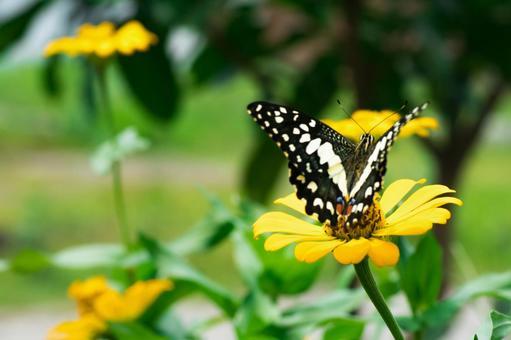호랑 나비와 노란 햐쿠니시소우
