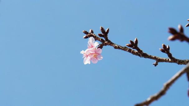 벚꽃의 개화와 푸른 하늘 봄