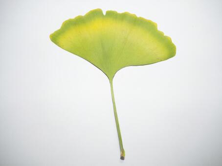 Ginkgo biloba leaves E