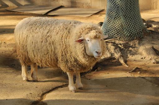 Zoo sheep