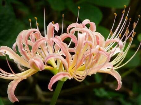 핑크 피안 꽃