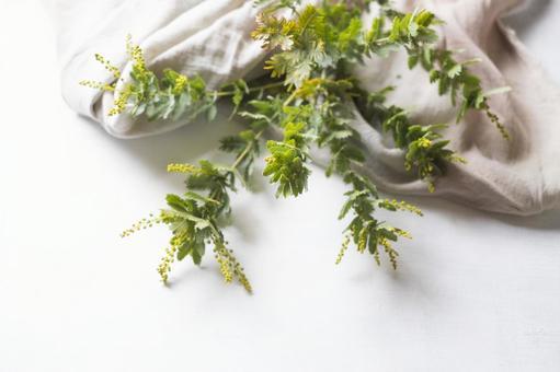 미모사 가지와 대마의 천 _ 흰색 배경