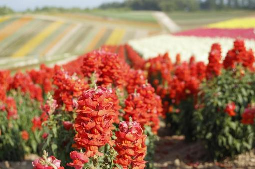 Flower field sage red