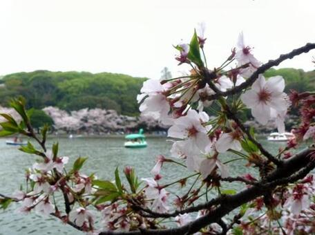 Scenery of cherry blossoms