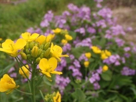 유채 꽃과 보라색의 꽃
