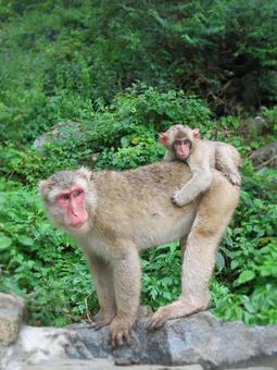 日本猴子的父母和孩子