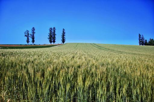 비 에이의 언덕 푸른 보리밭