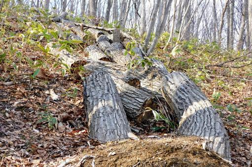 쓰러져 절단 된 나무