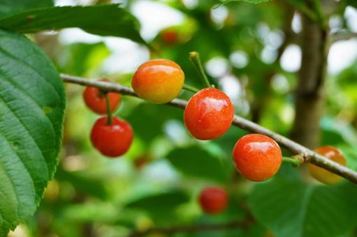 체리 나무 열매 2