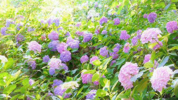 閃閃發光的繡球花簇在山間綻放 繡球花 繡球花