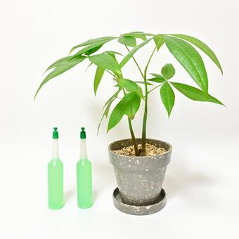 Revitalize the foliage plant Pachira with a vitalizing agent