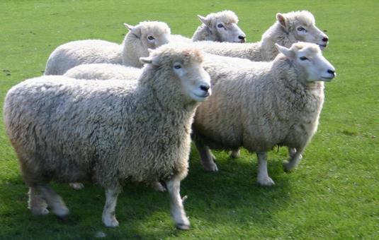 Five sheep (New Zealand)