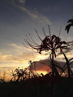 Cluster amaryllis and the setting sun