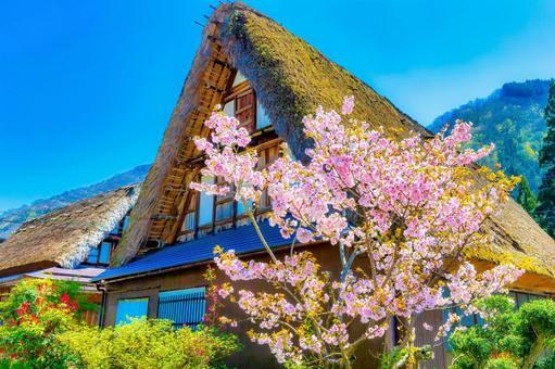 合掌造り屋根と桜
