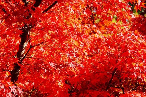 Kyoto autumn leaves maple sunbeams background