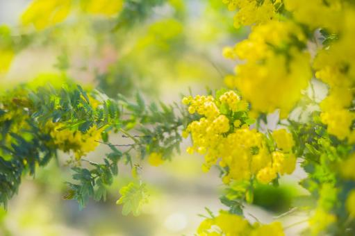 정원 미모사