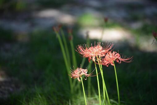햇살 피안 꽃