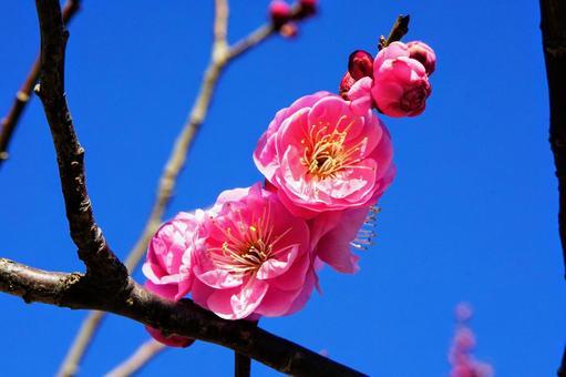 早咲きのピンク色の八重の梅の花のアップと青空