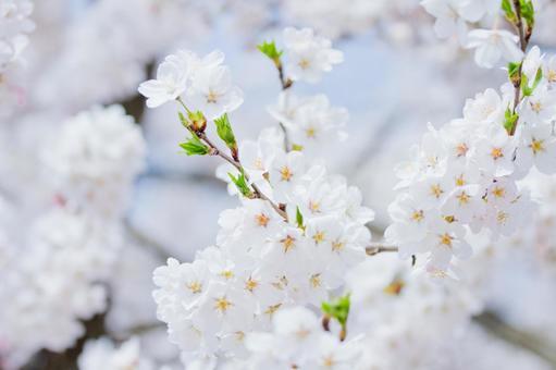 만개의 벚꽃