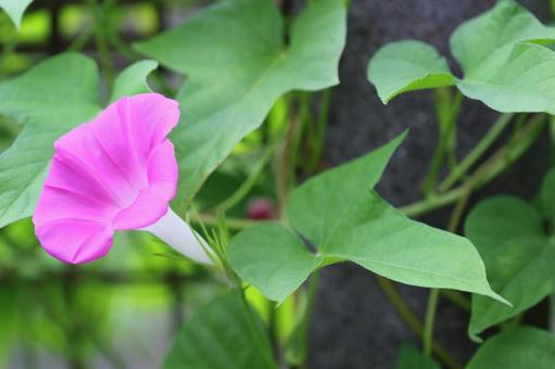 Morning glory pink 4