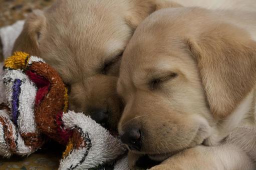 Animals · Labrador Retriever Baby