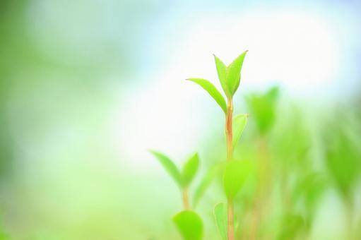 Fresh green leaves Young leaves Enkianthus perulatus