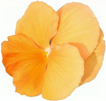 Orange pansy flower (with PSD)