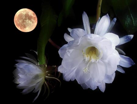 Back moon and queen of the night