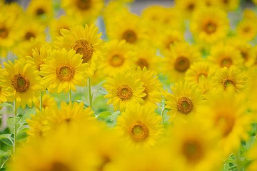 ひまわり 夏の花 向日葵 黄色い花