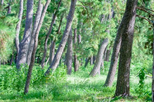Pine forest in Hattori Ryokuchi Park, Toyonaka City