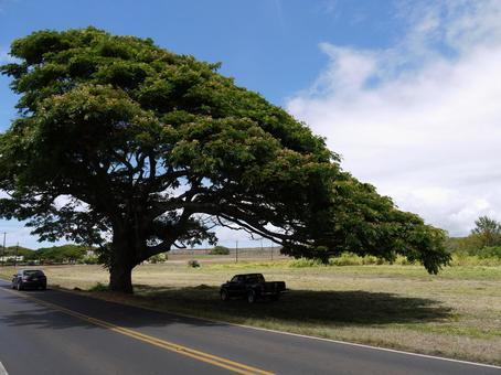 하와이의 나무 2