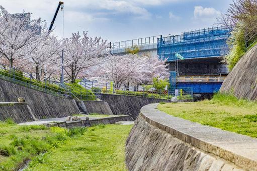 Bridge construction site and cherry blossoms