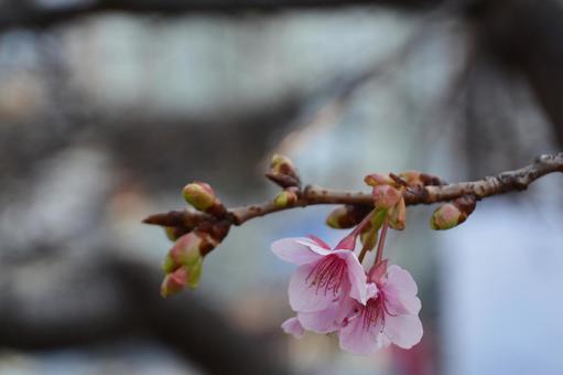봄을 알리는 카와 벚꽃의 개화